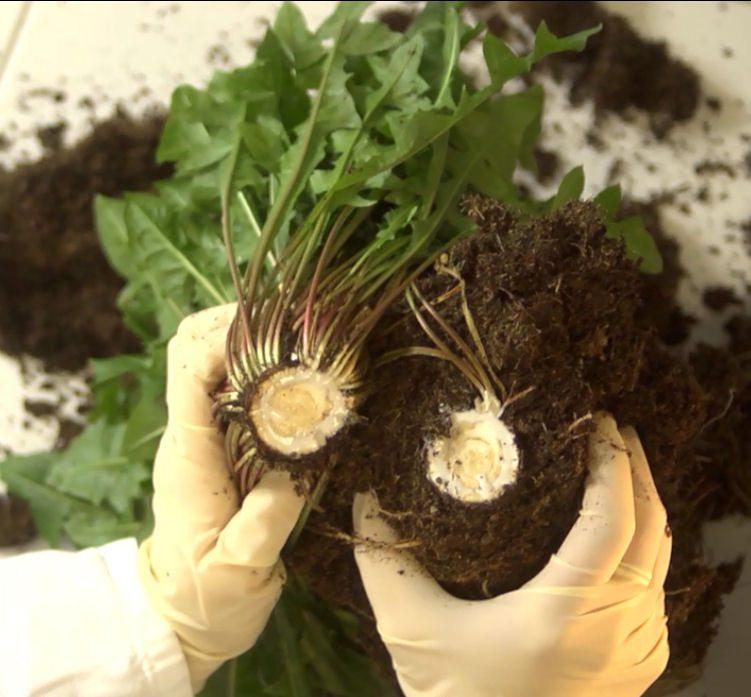 Conti dandelion rubber nominated for GreenTech award